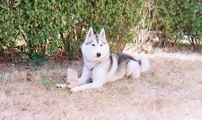 poids husky siberien